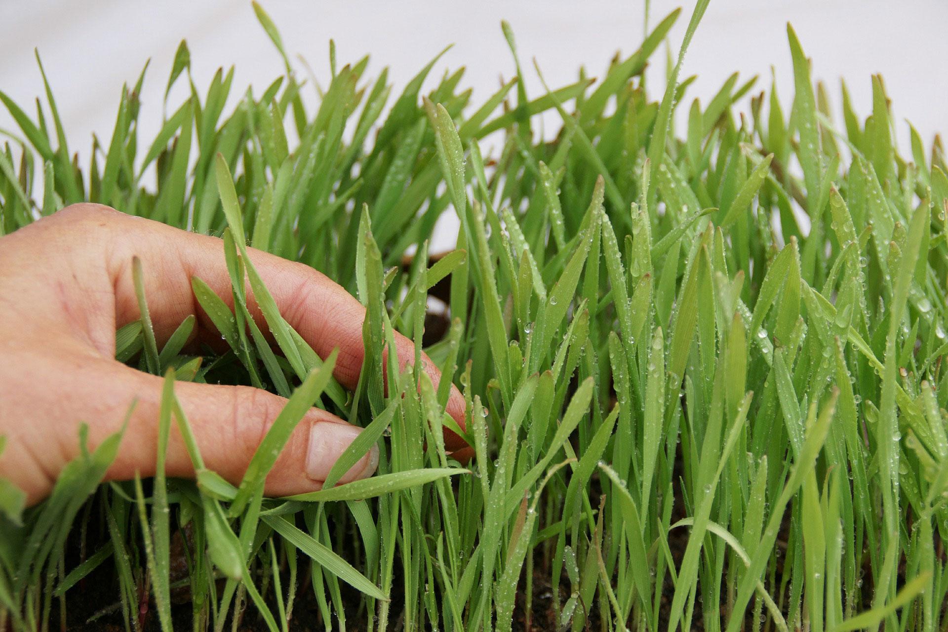Gras-Hand